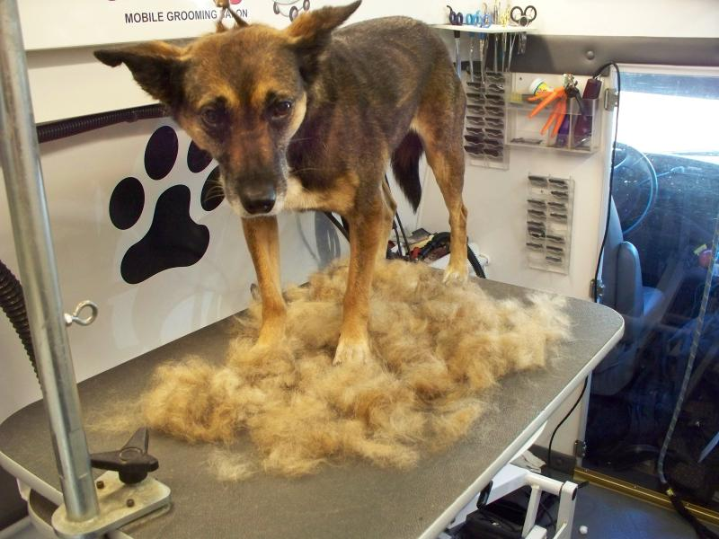 Shepherd Mix Furminator